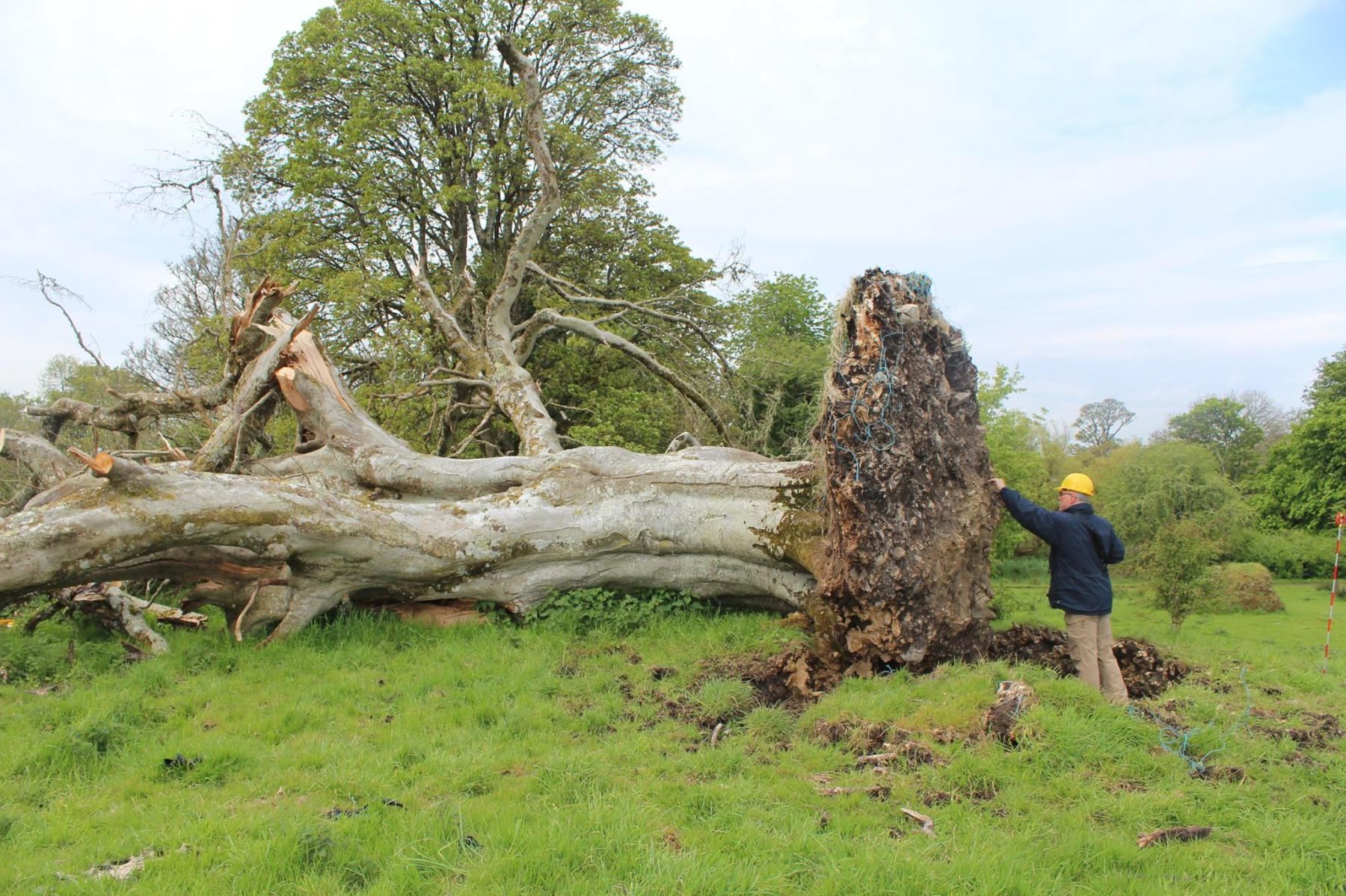 Fallen tree reveals medieval skeleton in Ireland