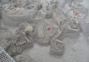 An adult (3) rhino fossil lies next to a baby's fossils. They are among hundreds of skeletons discovered at Ashfall Fossil Beds State Historical Park in Royal, Nebraska.