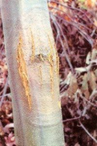Chestnut infected by fungus. Cankers caused by the fungal infection cause the bark to split