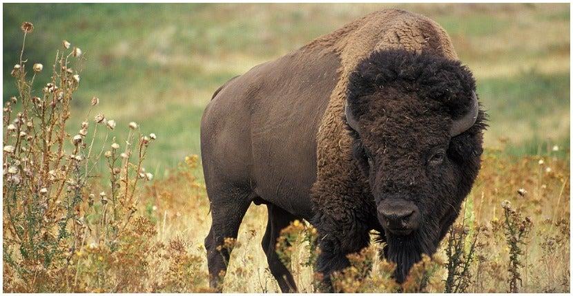 The Catalina Island Bison Herd