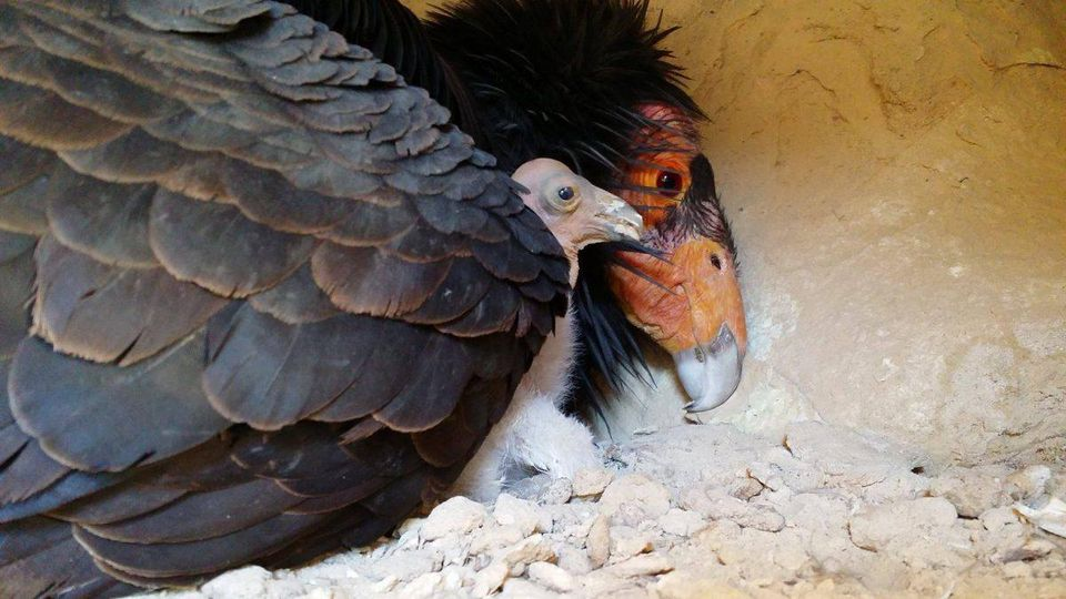 Bird Cams FAQ: California Condor Nest