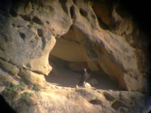 A wild California condor surveys Hopper Mountain National Wildlife Refuge from her nest.