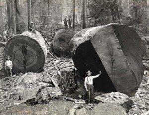 Lumberjacks seen working on the giant redwoods