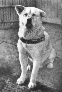 Hachiko the loyal akita.