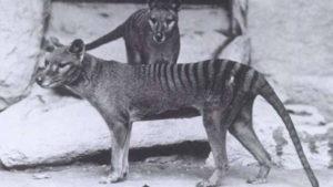 The Tasmanian tiger went extinct nearly 80 years ago.