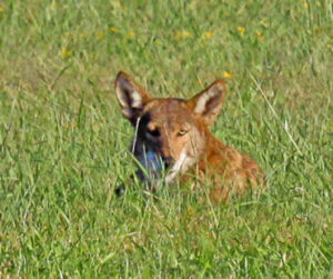 WOLF WHERE? Galveston Island's mysterious large coyotes, one photographed in 2013 is pictured here, resemble red wolves. Their coats are reddish, their heads are bit broader than usual, and other features hint at the animals' ancestry. Genetic analysis confirmed that at least two of the animals carry red wolf DNA.