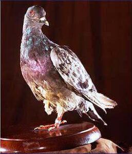 War pigeon Cher Ami