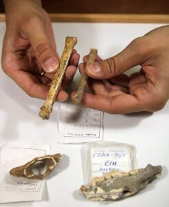 Difference between the dog of Grotta Paglicci (the smaller one) and the same bone from a current wolf. On the table are other two remains of Grotta Paglicci (vertebrae and a jaw
