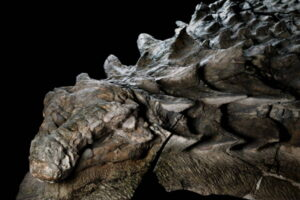 """The nodosaur has been described by some scientists as the """"rhinoceros of its day."""""""
