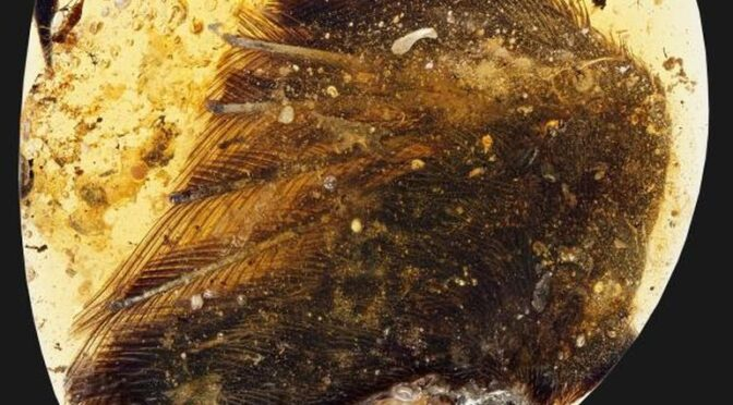 99 million years old dinosaur-era bird wings found trapped in amber